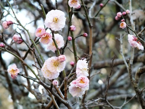 Cherry Blossoms opening early this year
