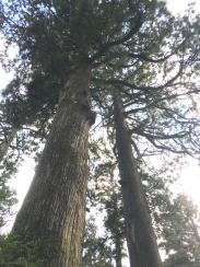 400 year old cedar tree